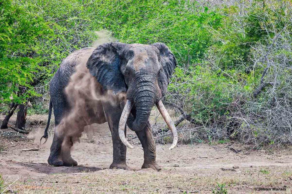 FEATURED IMAGE: Mkadebona, one of the Tembe Elephant Parks' big tuskers. Picture: Johan Marais